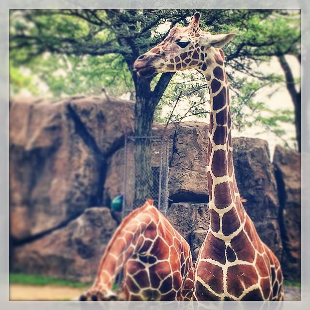 Philadelphia Zoo Giraffe